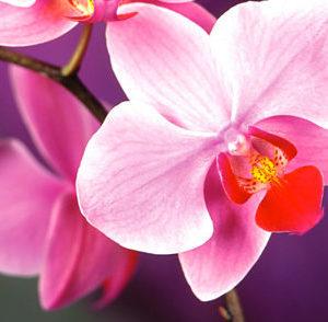 5 Motivi per regalare un'Orchidea